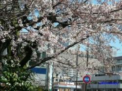 中野区道端の桜その2_4