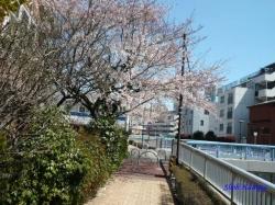 中野区道端の桜その2_5