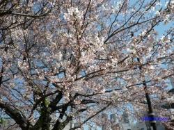 中野区道端の桜その2_6