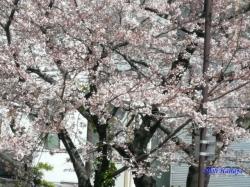 中野区道端の桜その2_7