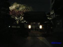 青梅街道沿常圓寺夜桜2