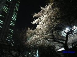 青梅街道沿常圓寺夜桜3