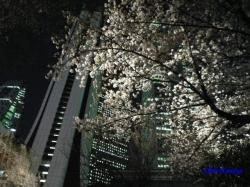 青梅街道沿常圓寺夜桜4