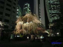 青梅街道沿常圓寺夜桜5