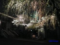 青梅街道沿常圓寺夜桜6