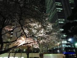 青梅街道沿常圓寺夜桜7
