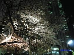 青梅街道沿常圓寺夜桜8