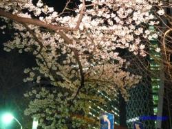 青梅街道沿常圓寺夜桜9