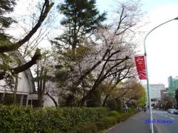 神宮外苑の桜1