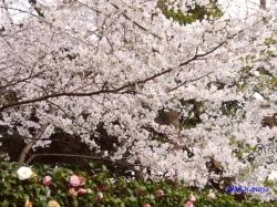 神宮外苑の桜2