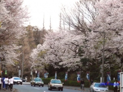 神宮外苑の桜その2_4