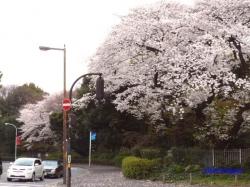 神宮外苑の桜その2_5