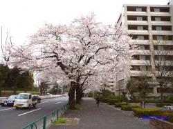神宮外苑の桜その2_6