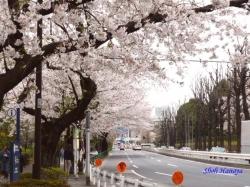 神宮外苑の桜その3_7