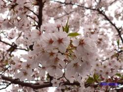 神宮外苑の桜その3_8