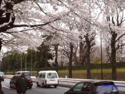 神宮外苑の桜その3_9