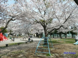 とある公園の桜1