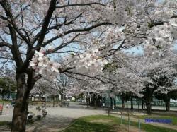 とある公園の桜2
