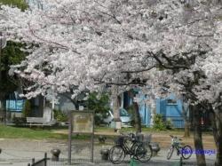 とある公園の桜3