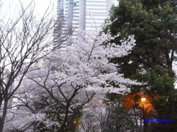 夕暮時新宿中央公園桜1