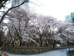 夕暮時新宿中央公園桜2