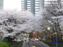 夕暮時新宿中央公園桜3