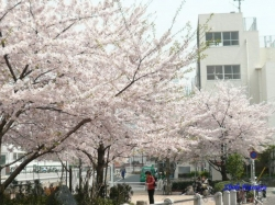 中野区神田川沿いの桜1