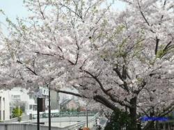 中野区神田川沿いの桜2