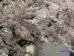 中野区神田川沿いの桜3
