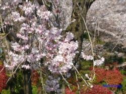 飛鳥山公園の桜1
