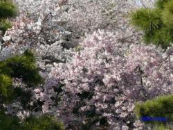 飛鳥山公園の桜2