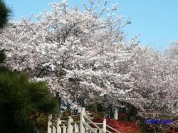 飛鳥山公園の桜4