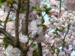 西新井の公園の桜1