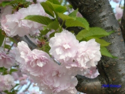 西新井の公園の桜2