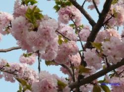 西新井の公園の桜3