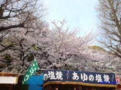 靖国神社の桜1