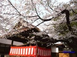 靖国神社の桜2