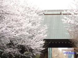靖国神社の桜3