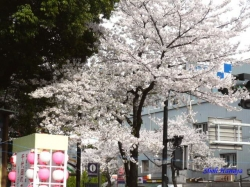 靖国神社の桜4