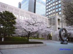 夕暮れ時の都庁の桜1