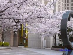 夕暮れ時の都庁の桜2