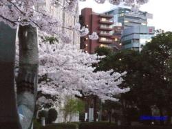 夕暮れ時の都庁の桜3