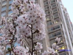 夕暮れ時の都庁の桜4