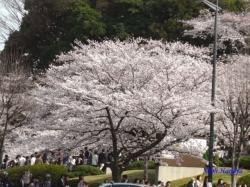 靖国神社前から見る田安門の桜