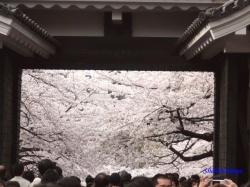 第一の門高麗門内側からの桜