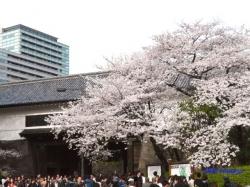 田安門第ニの門渡櫓門の桜