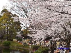 北の丸公園池の前の桜