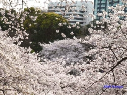 千鳥ヶ淵の桜を北の丸公園側より1