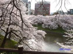 千鳥ヶ淵の桜を北の丸公園側より2