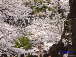 千鳥ヶ淵緑道の桜1
